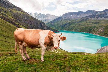 Kuh am Moiry-Stausee von Steven Van Aerschot