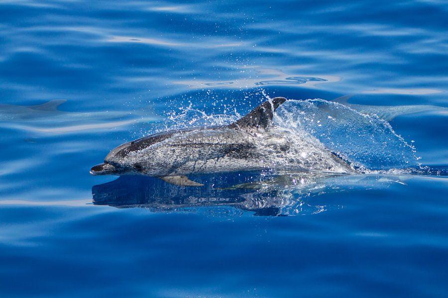 Atlantische gevlekte dolfijn (Azoren) van Marcel Antons