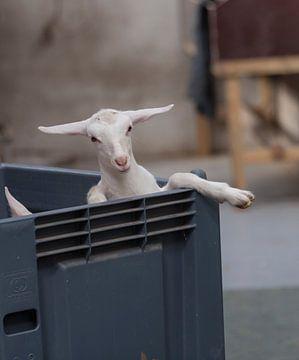 ein junges Lamm in einer transportfertigen Kiste von Compuinfoto .