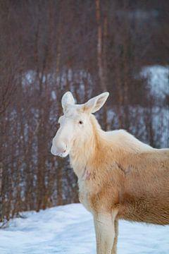 Seltener weißer Elch im Vorgarten I von Jeanine den Engelsman