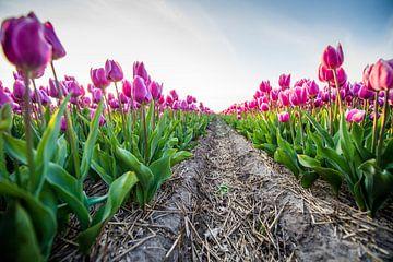 Tulpen netjes op een rij van Dennis Janssen