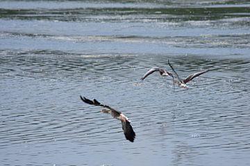 Trois oies volantes sur Gerard de Zwaan