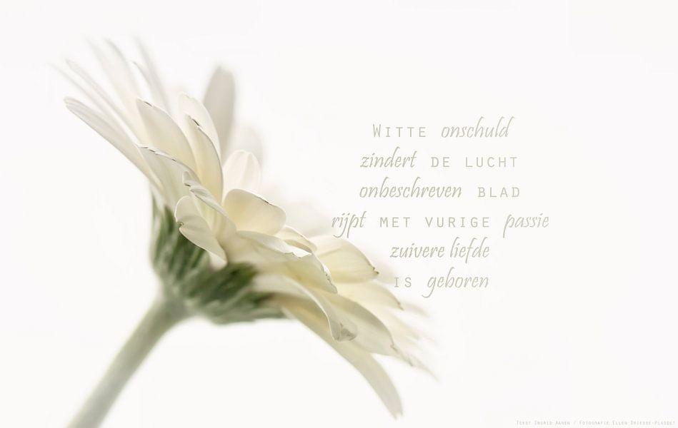 Witte gerbera