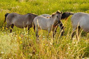 Konikpaarden in de Ooijpolder