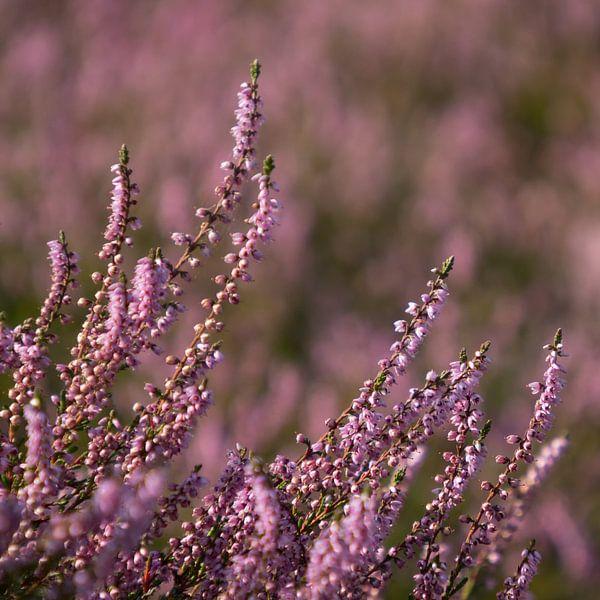Heidekraut in Blüte von Katrin May