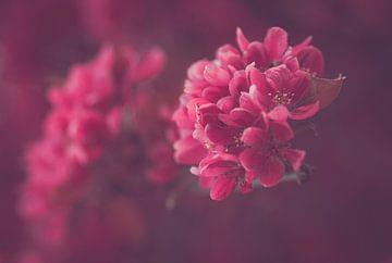 Roze bloesem van Syl via