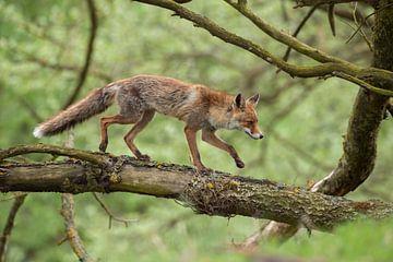 Rode vos ( Vulpes vulpes ) van wunderbare Erde