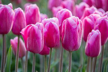 Roze tulpen van Ton van Waard - Pro-Moois