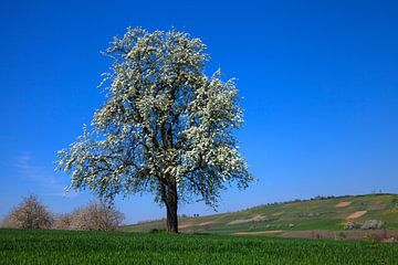 Bloeiende kersenboom van Jürgen Wiesler