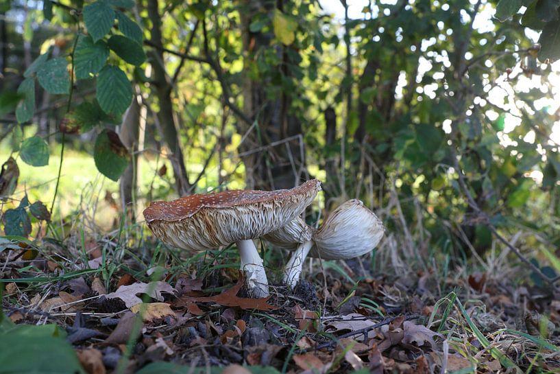 paddestoelen in het bos van Frans Versteden