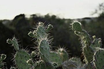 Curacao - Kaktus von Rowenda Hulsebos