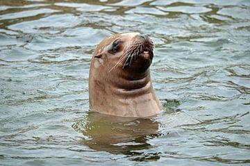 Steller Zeeleeuw kijkt boven water en steekt tong uit van Ronald H