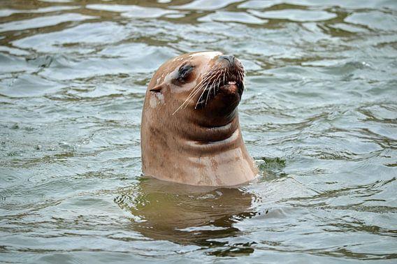 Steller Zeeleeuw kijkt boven water en steekt tong uit