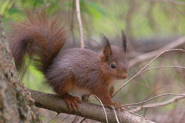 Rode of gewone eekhoorn jong op verkenning van Eric Wander