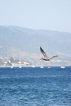 Vliegende Pelicaan in Santa Barbara - USA van Ricardo Bouman | Fotografie