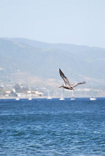 Vliegende Pelicaan in Santa Barbara - USA