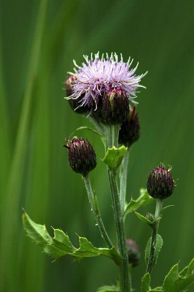 Fleur de chardon sur Paul Franke