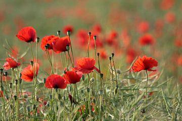 Mohnblumenwiesen von Renate Knapp
