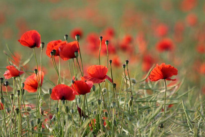 Mohnblumenwiesen van Renate Knapp