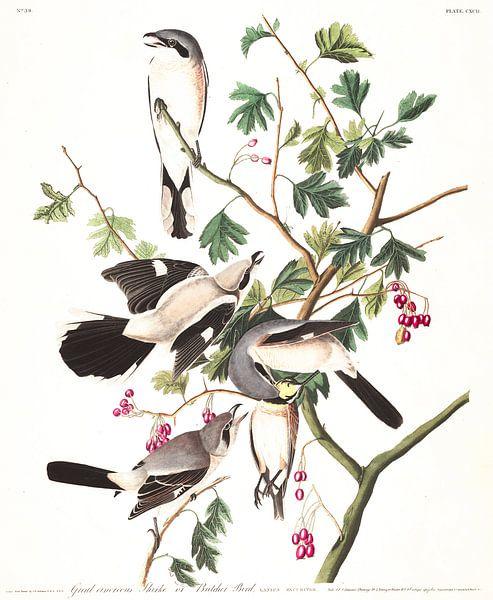 Klauwieren von Birds of America