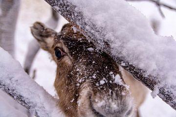 Rendier in Fins lapland in de buurt van Levi van Kevin Pluk