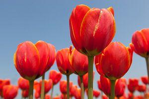 Close up van rode tulpen tegen achtergrond van een helder blauwe lucht van