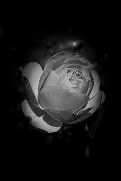 Rose in Schwarz-Weiß von Jaap Ladenius