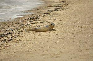Ein kleiner Seehund am Strand von Philipp Klassen