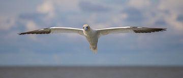 Vliegende Jan-van-gent van Marcel Klootwijk