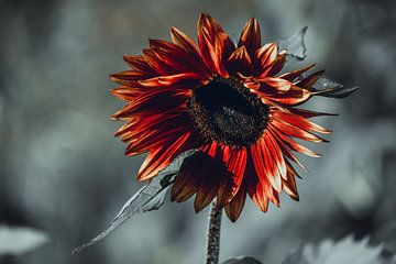 Rote Sonnenblume auf grauem Hintergrund von Eugenlens