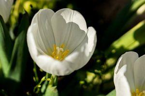 bovenaanzicht van een witte tulp
