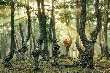 Kieferparty, Auvergne in Frankreich von Lars van de Goor