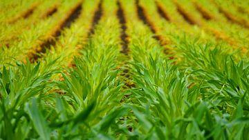 Junges Maisfeld von Masselink Portfolio