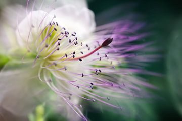 Fleur de caprier van