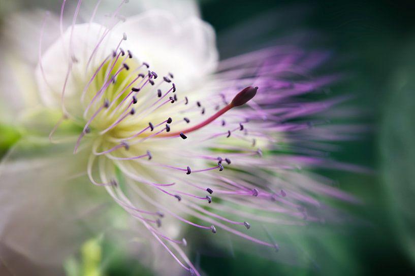 Fleur de caprier van Martine Affre Eisenlohr