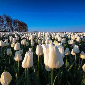 Witte tulpen bij zonsopkomst van Ilya Korzelius