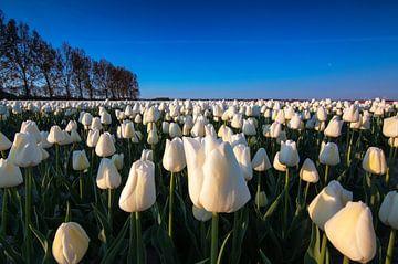 Weiße Tulpen bei Sonnenaufgang von Ilya Korzelius