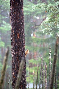lachende eekhoorn van joost vandepapeliere