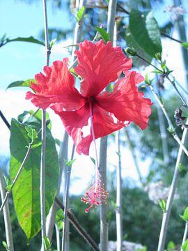 Hibiscus bloem van Daphne Wessel