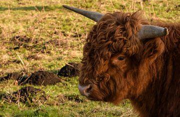 Schotse Highlander von Roland Swennen