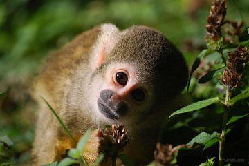 Nieuwsgierig aapje van Marjolijn Vledder