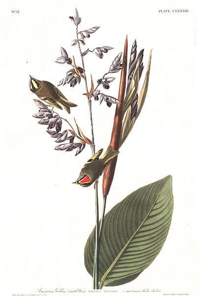 Amerikaanse Goudhaan van Birds of America
