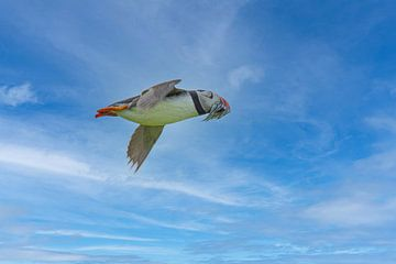 Papageientaucher, Fratercula arctica. Seevogel von Gert Hilbink