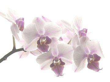 Orchid pastel  von Marjon van Vuuren