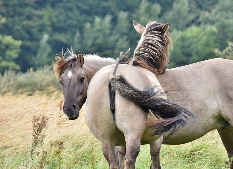 Konikpaarden van Carla Eekels