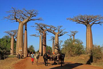 Baobab allee in Madagaskar van Antwan Janssen