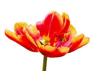 Rood gele tulp op witte achtergrond van Ben Schonewille