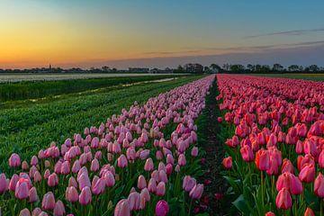 Roze tulpenveldje bij zonsopkomst van Carla Matthee
