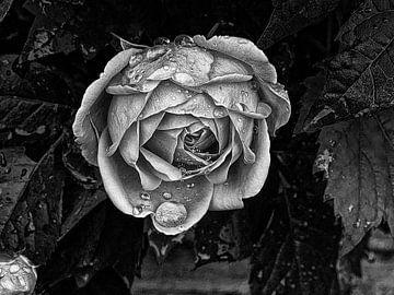Dark rose von erik boer