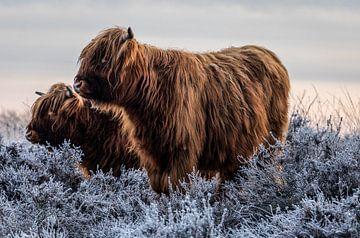 Schottische Hochlandbewohner von Durk-jan Veenstra